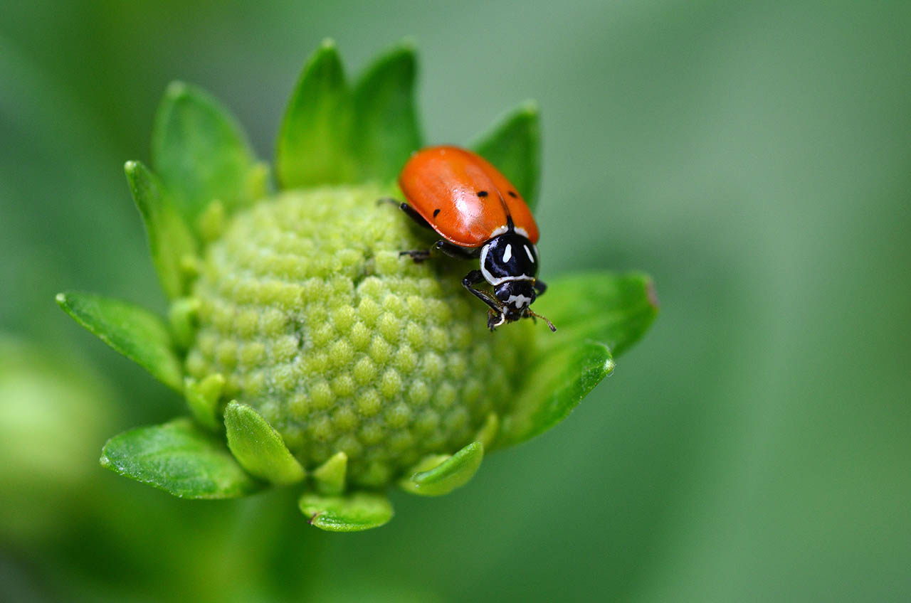 an overview of the ladybugs poisonous body in contrast to the united states 2012-5-15  in the united states, the name was adapted to ladybug common names in other european languages have the same association, for example, the.